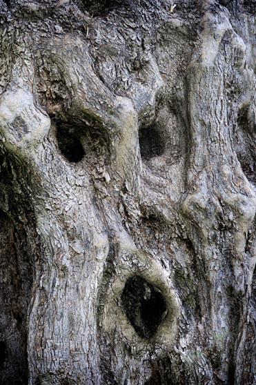 Ελιές, ελαιόδεντρα, μνημειακά, αιωνόβιες, ανθρωπόσχημες, ανθρωπομορφικές